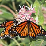 Candice Miller's focus turns from fighter jets to endangered butterflies